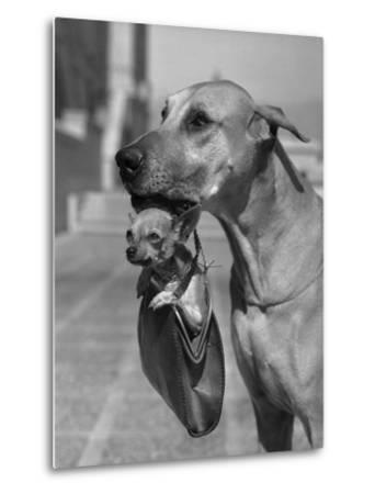 Great Dane Holding Chihuahua in Purse
