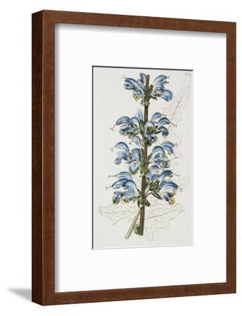 Illustration Depicting Bicolor Sage Plant