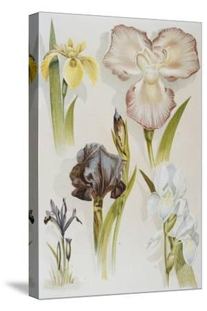 Illustration Depicting Various Types of Irises