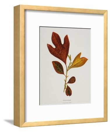 Illustration of Sassafras Leaves