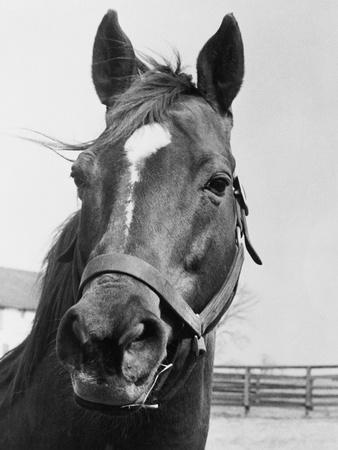 Man O' War Relaxing on His Farm