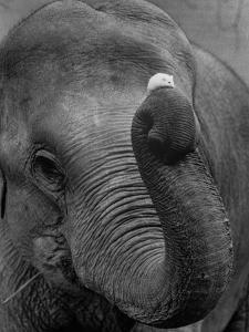Mouse Balancing on Elephant's Trunk by Bettmann