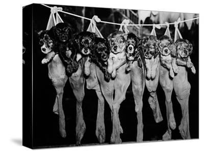 Puppies Hanging from a Clothesline
