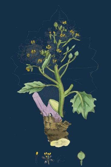 Betula Glutinosa; Common Birch--Giclee Print