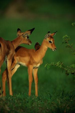 A Female Impala and Her Youngster with an Oxpecker Bird on its Back by Beverly Joubert