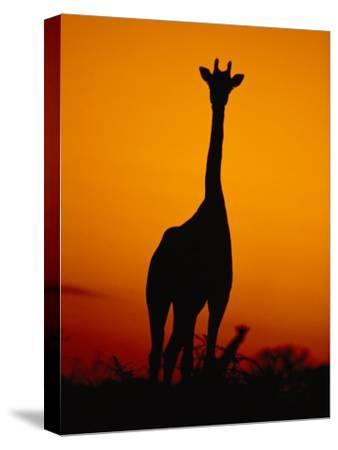 A Giraffe at Sunset in Chobe National Park