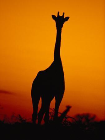 A Giraffe at Sunset in Chobe National Park by Beverly Joubert