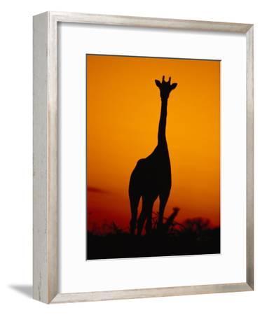 A Giraffe at Sunset in Chobe National Park