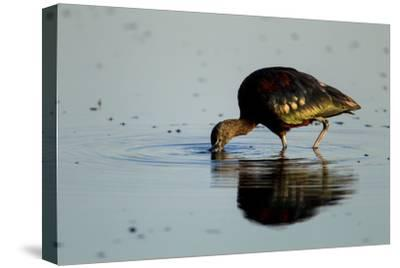 A Glossy Ibis, Plegadis Falcinellus, Foraging in the Water