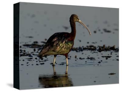 A Glossy Ibis, Plegadis Falcinellus, Wading in Water