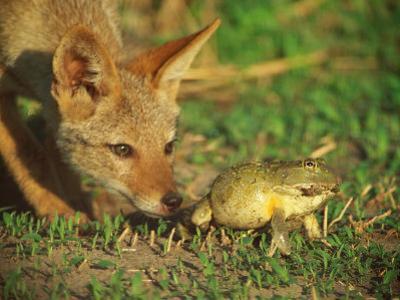 A Golden Jackal is Curious About an African Bullfrog