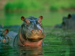 A Hippopotamus Pokes its Head out of the Water While Swimming with Other Hippos by Beverly Joubert