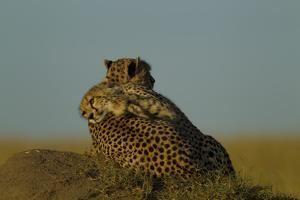 A Juvenile Cheetah, Acinonyx Jubatus, Lies Draped over the Side of its Mother on a Dirt Mound by Beverly Joubert