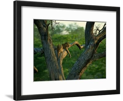 A Leopard Lounges in a Tree