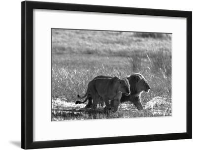A Lion and Lioness, Panthera Leo, Walking Side by Side Through Flooded Grasses