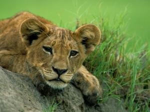 A Lion Cub Crouches on a Rock by Beverly Joubert
