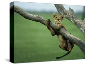 A lion cub hangs from a branch. by Beverly Joubert