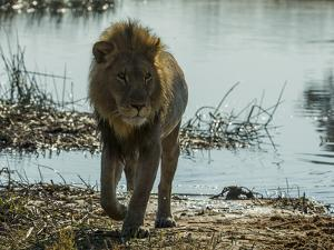 A Lion, Panthera Leo, Walking Out of a Spillway by Beverly Joubert