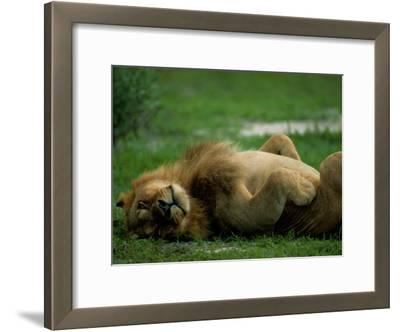 A Lion Rolls in the Grass