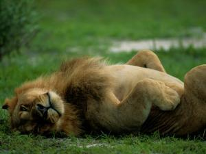 A Lion Rolls in the Grass by Beverly Joubert