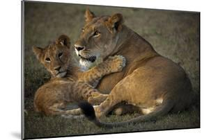 A Lioness and Her Cub, Lying Next to Each Other and Playing by Beverly Joubert