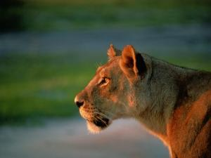 A Lioness Attentively Watching a Herd of Zebras by Beverly Joubert