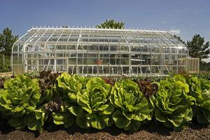 A Lush Vegetable Garden with Large Lettuces Growing in Front of a Greenhouse by Beverly Joubert