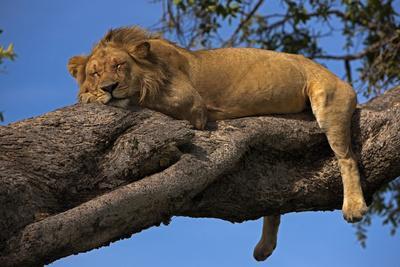 A Male Lion Sleeping in a Tree