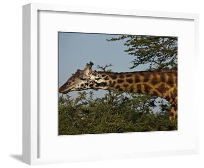 A Masai Giraffe Eating Tree Top Leaves