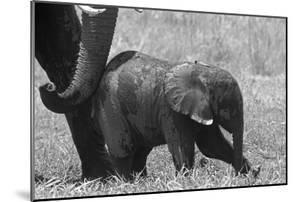 A Mother African Elephant Giving Her Calf a Little Nudge to Get it to Walk by Beverly Joubert