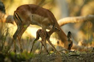 A Newborn Impala, Aepycerios Melampus, and Mother At Birth Site by Beverly Joubert