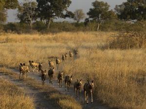 A Pack of African Wild Dogs, Lycaon Pictus, Walking in a Row, on Patrol by Beverly Joubert