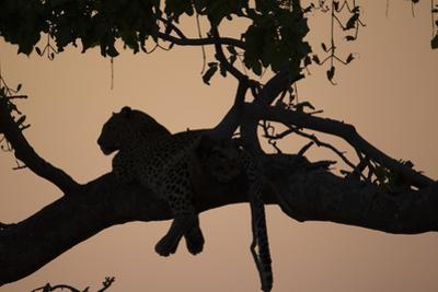 A Silhouetted Leopard Lying in a Tree at Sunset