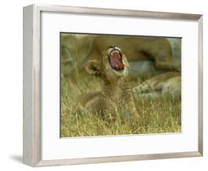 A Small Lion Cub Raises its Head into the Air and Yawns by Beverly Joubert