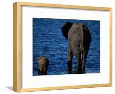 A Swimming African Elephant