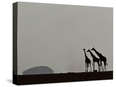 A Trio of Silhouetted Giraffes, Giraffa Camelopardalis