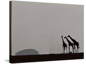 A Trio of Silhouetted Giraffes, Giraffa Camelopardalis by Beverly Joubert