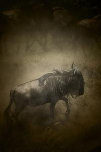 A wildebeest, Connochaetes taurinus, searches for its family. by Beverly Joubert