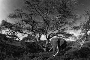 Acacia tortillis trees and elephants, Loxodonta Africana, in the African savanna. by Beverly Joubert