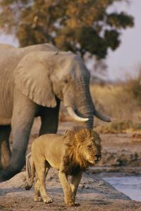 African Elephant and Lion at a Water Hole in Chobe National Park by Beverly Joubert
