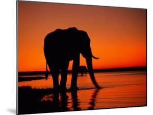 African Elephant Silhouetted at Twilight by Beverly Joubert