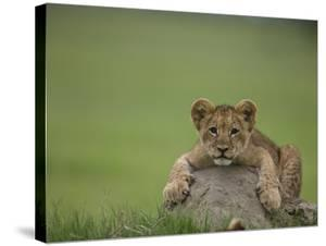African Lion Cub, Panthera Leo, Lying across a Mound of Soil by Beverly Joubert