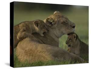 African Lioness, Panthera Leo, Resting with Cubs by Beverly Joubert