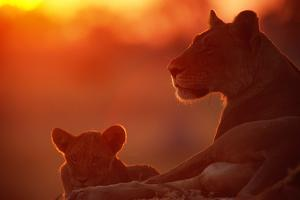 African Lions (Panthera Leo) - Female and Cub At Twilight, with the Lioness Looking for Prey by Beverly Joubert