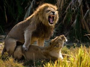 African Lions, Panthera Leo, Mating by Beverly Joubert