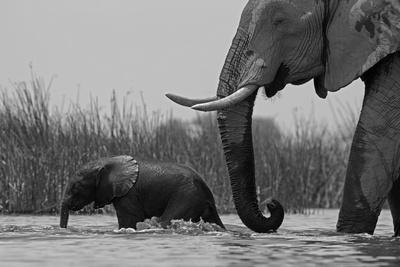 An African Elephant and a Calf Crossing a Spillway