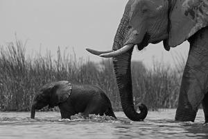 An African Elephant and a Calf Crossing a Spillway by Beverly Joubert