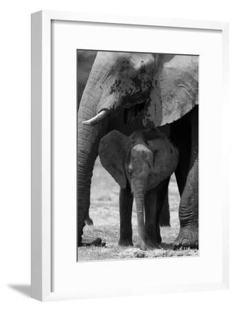 An African Elephant Calf Standing under its Mother