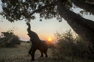 An African Elephant Pulling a Branch of Tree to Graze under the Setting Sun by Beverly Joubert