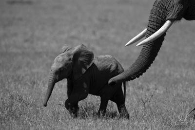 An African Elephant Urging Her Calf on with Her Trunk by Beverly Joubert